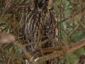 Skovhornugle