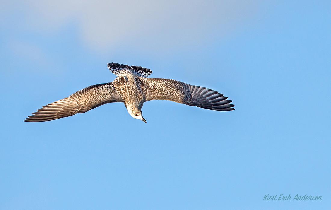 danske fugle billeder
